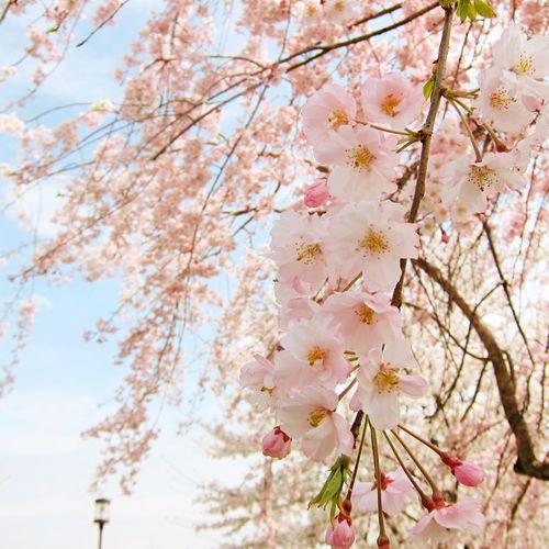 Sakura flowers Sakuraflowers Pink Flower