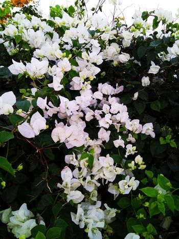BOUGAINVILLEA... WHITE... Blossom Blooming Bougainvillea White Day Beauty Beauty In Nature,