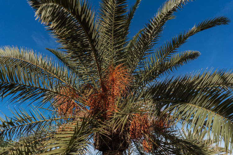 Marrakesh Marrakech Morocco Travel Destinations Tourist Destination Travel Photography Travel Tropical Climate Date Palm Tree Palm Tree No People Low Angle View Palm Leaf Nature Coconut Palm Tree Tropical Tree Beauty In Nature Tranquility Outdoors Plant Date Trunk Blue Growth Leaf