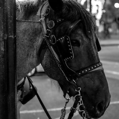 Bridle Horse Protection Day Domestic Animals Working Animal Mammal Real People Animal Themes Outdoors Close-up One Person Atlanta Ga Horses Instagood Streetphotography Blackandwhite Black And White EyeEm Best Shots IPhoneography Relaxing Relaxation Walking Around Taking Photos Side View The City Light Welcome To Black