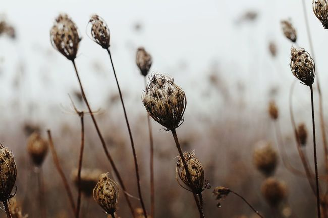 Autumn Brown Past Thistle Wilted Plant Flower Close-up Sky Plant Dead Plant
