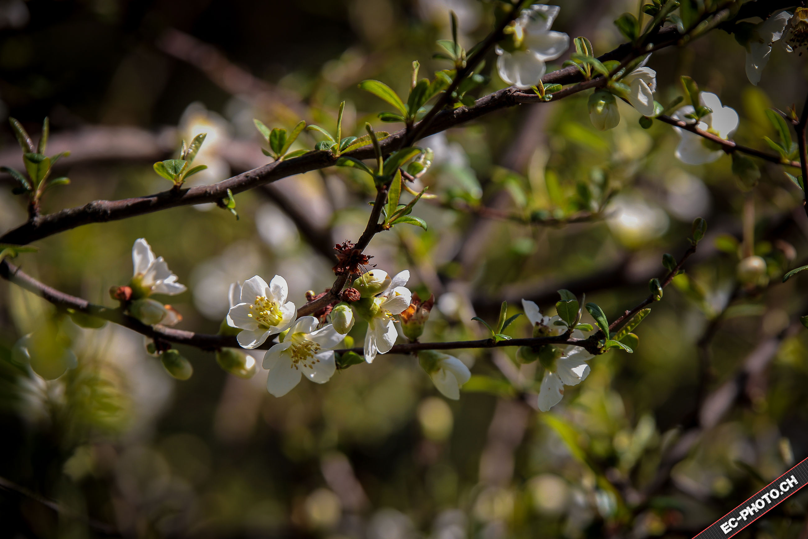 branch, flower, growth, tree, focus on foreground, freshness, twig, nature, beauty in nature, close-up, blossom, fragility, leaf, cherry blossom, outdoors, cherry tree, day, selective focus, white color, plant