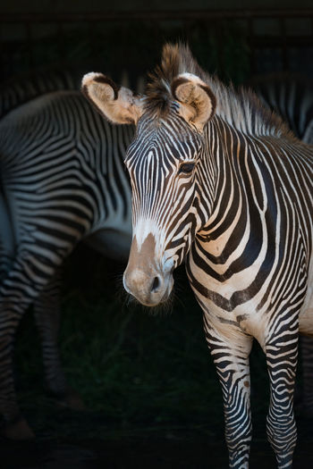 Animal Equus Grevyi Grevy's Zebra Imperial Zebra Mammal Nature Striped Stripes Wildlife Zebra