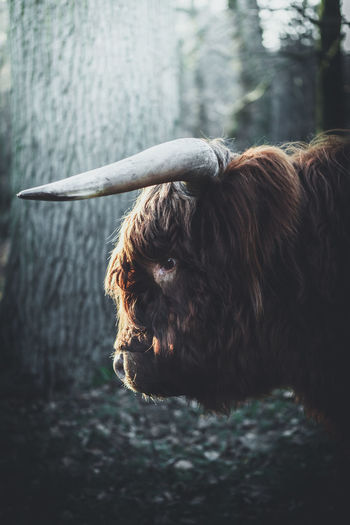 Wild. Location: Lower Saxony, Germany. Equipment: Fujifilm X-T2 + XF50mm f2. EyeEm Nature Lover Highland Cattle Hochlandrind Animal Face Animal Themes Brown Cattle Close Up Close-up Cow Cows Day Domestic Animals Eye Face Fujifilm Highland Cattle Livestock Mammal Nature No People One Animal Outdoors Pets Water The Great Outdoors - 2018 EyeEm Awards The Traveler - 2018 EyeEm Awards The Great Outdoors - 2019 EyeEm Awards
