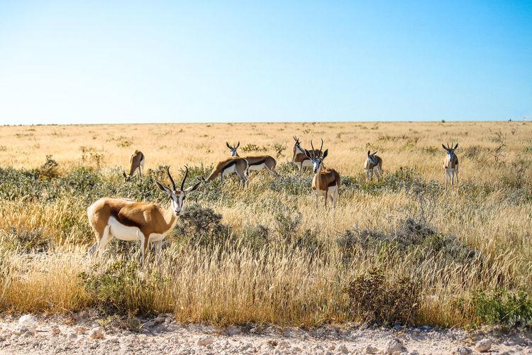 Gazelles grazing on grassy field against clear blue sky