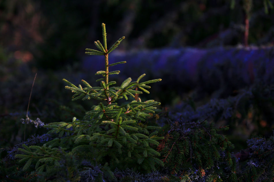 ''Luminous young pine tree' EyeEmNewHere Beauty In Nature Focus On Foreground Freshness Green Color Growth Luminous Pine Forrest Rejuvenation Young Pine Tree