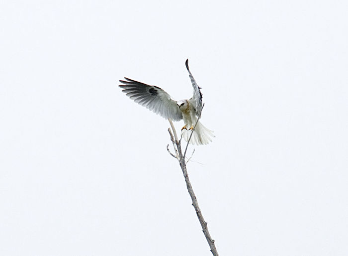 White-tailed