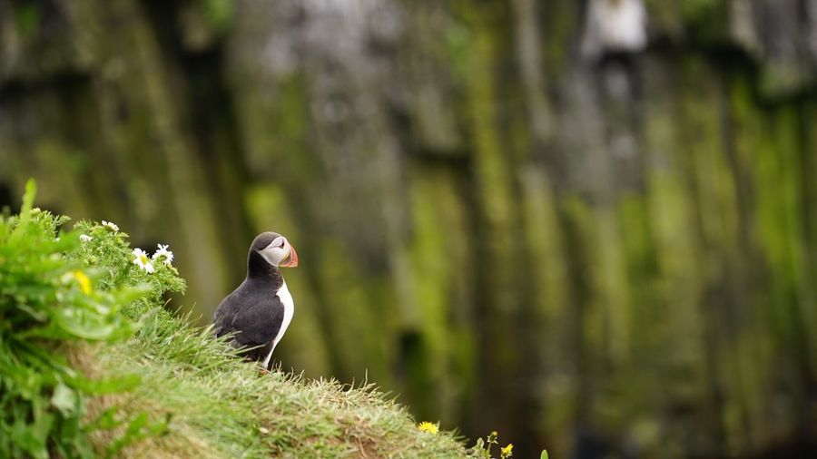 Puffin On Field