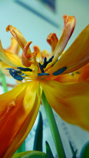 faded tulips Beauty In Nature Blooming Close-up Faded Flower Flower Head Focus On Foreground Fragility In Bloom Nature Orange Color Petal Plant Pollen Single Flower Stamen Tulips Tulpen Verblühte Tulpen Yellow