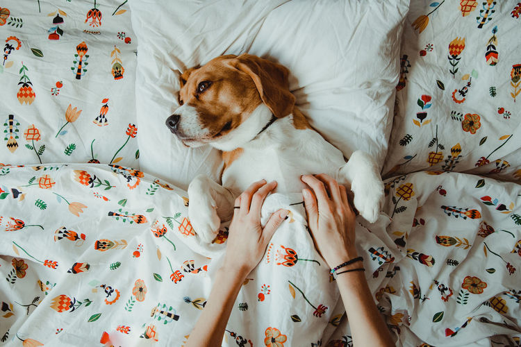 Nuca the beagle, sleepy dog in the bed Indoors  Bed Furniture One Animal Pets Domestic Animals Relaxation Domestic Mammal Resting Vertebrate Canine Floral Pattern Dog Dogs Of EyeEm Beagle Beaglelovers IKEA Ikea Design Morning Morning Light Bed Bedroom Sleeping Dog Love