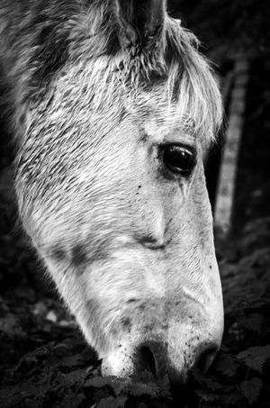 Close up of horse's head Animal Animal Close Up Animal Eye Animal Head  Animal Nose Animal Themes Black And White Close-up Eating Grass Eye Fur Horse Horse Head Mammal Monochrome Nature No People One Animal Outdoors FreshonEyeem