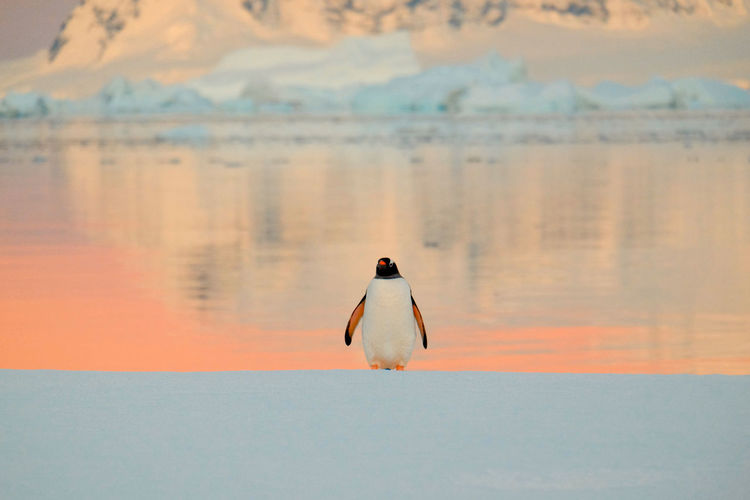 Antarctica Animals In The Wild Beach Nature No People Penguin Sea Sunset Water