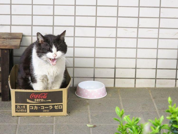 Stray Cat Cat Gato EyeEm Best Shots Animals Yawning Cat Cat Lovers Funny Cat at Enoshima 江の島 in JAPAN