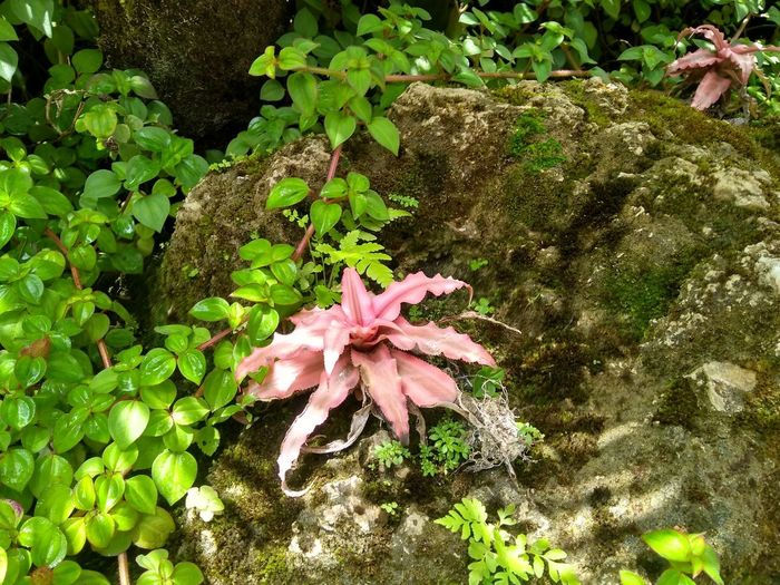 High angle view of pink flowering plant on rock