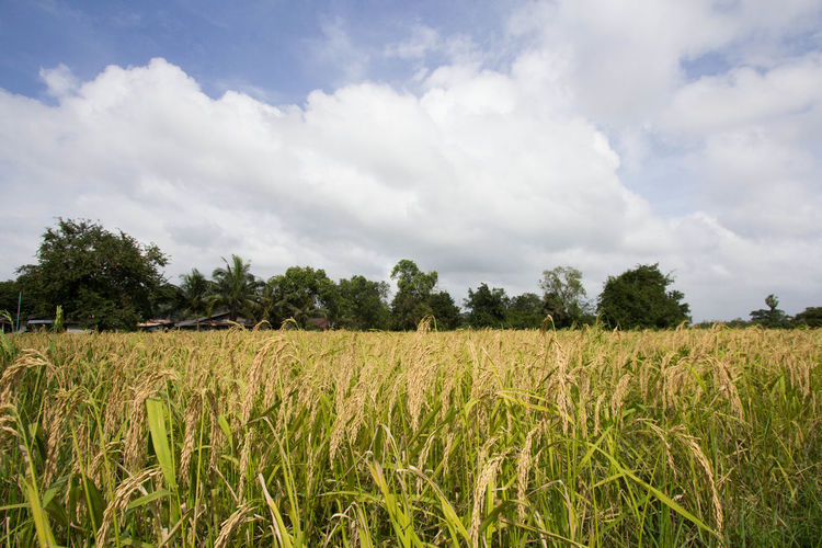 Agriculture Beauty In Nature Cereal Plant Cloud - Sky Crop  Day Farm Field Growth Landscape Nature No People Outdoors Rice Rice Paddy Rural Scene Scenics Sky Social Issues Tranquil Scene Tranquility Tree Wheat