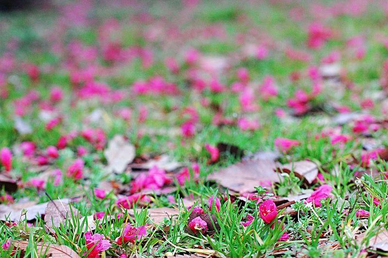 Blossom Sakura Pink 桜 Spring Time EyeEm Nature Lover Spring Colours Spring 春 Colors