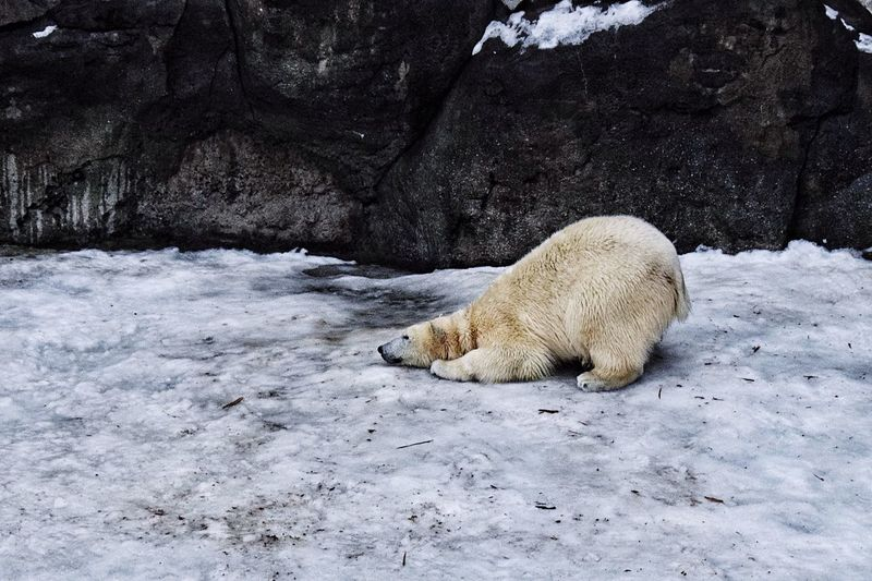 Polar Bear On Frozen Lake