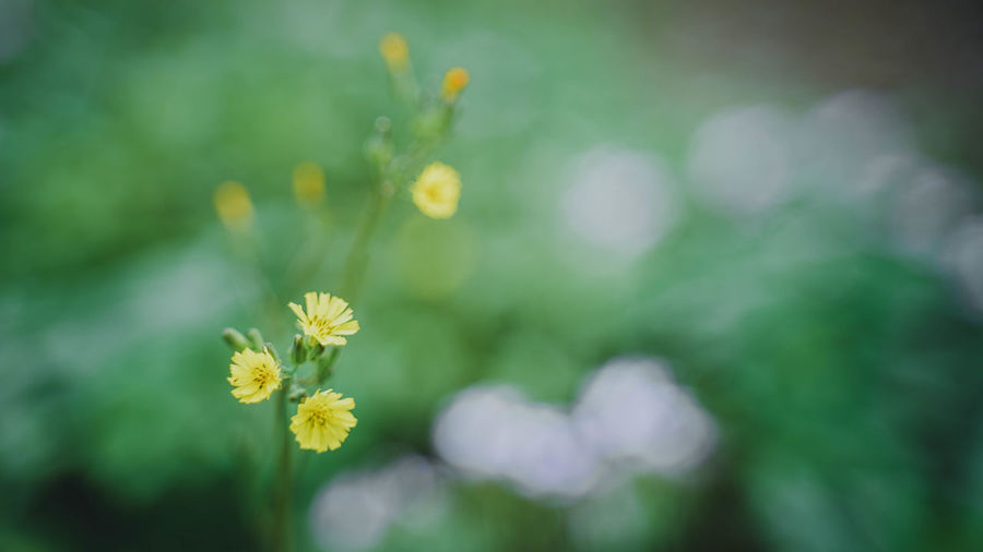 Flowering Plant Flower Plant Freshness Beauty In Nature Fragility Vulnerability  Yellow Flower Head Growth Inflorescence Close-up Petal Nature No People Focus On Foreground Selective Focus Day Outdoors Green Color Springtime