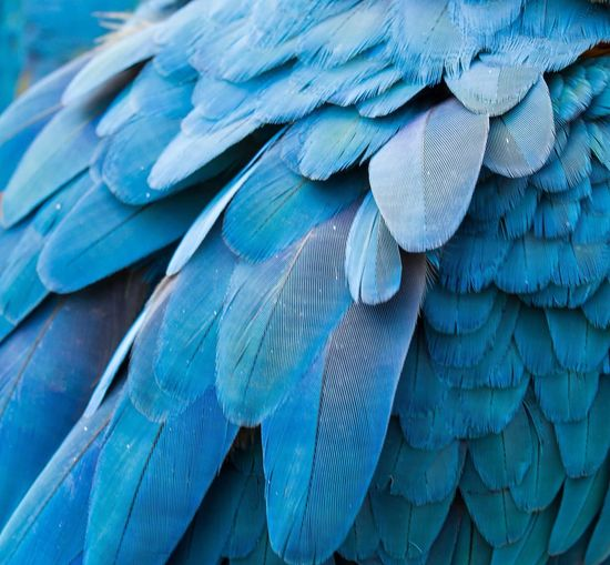 Macaw's feather Animal Animal Themes Blue Bird Vertebrate Parrot Animal Wildlife Macaw Feather  Backgrounds Beauty In Nature Animals In The Wild Close-up