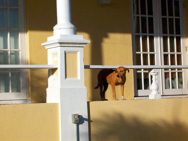Yellow on yellow - a resident Royal Bahamas Potcake (feral dog) living at the National Gallery of the Bahamas Animal Themes Building Exterior Dog Dog On Porch No People One Animal Potcake Potcake Dog Yellow Building Yellow Dog