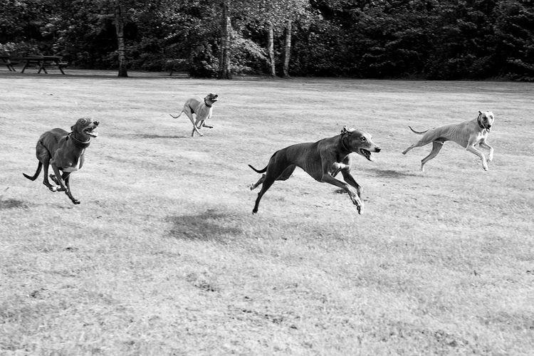 Greyhounds running on grass