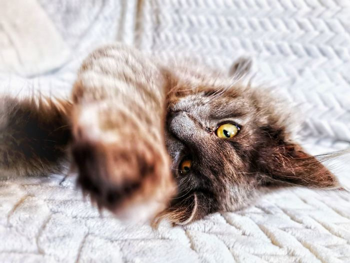 Play with me Young Animal Cat Norvegianforrestcat Pets Portrait Bedroom Kitten Bed Feline Domestic Cat Looking At Camera Yellow Eyes Lying Down Maine Coon Cat