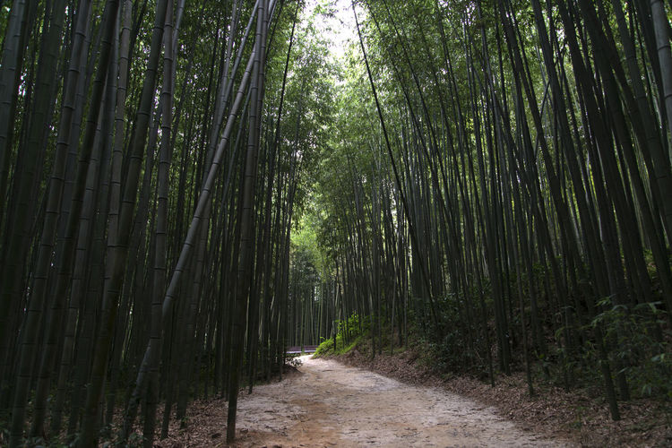 Juknokwon, the famous bamboo park in Damyang, Jeonnam, South Korea Damyang Juknokwon Bamboo - Plant Bamboo Forest Bamboo Grove Bamboo Park Beauty In Nature Day Forest Growth In The Forest Nature No People Outdoors Scenics The Way Forward Tranquil Scene Tranquility Tree Tree Trunk