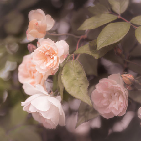 Soft pink roses on dark background vintage look Feminine  Pink Romantic Soft Beauty Blooming Blossoms  Blush Pink Close-up Flora Floral Flowers Garden Glowing June Nature Nostalgic  Outdoors Pastel Pastel Pink Petals Pink Roses Roses Sweet Vintage