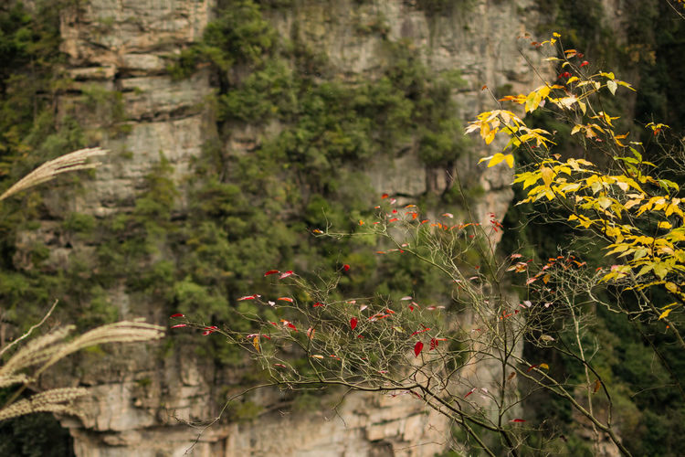 Plant Growth Flower Nature No People Day Focus On Foreground Beauty In Nature Yellow Forest Tranquility Green Color Rock Formation Avatar Mountain ZhangjiajieNationalPark Autumn Mood
