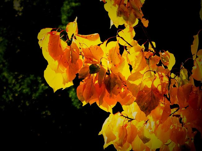 My Year My View Leaves Yellow Leaves Autumn Leaves Autumn Nature Tree Branch Close-up Growth Focus On Foreground Outdoors No People Leaf Beauty In Nature Tree Branches Tranquil Scene Yellow Freshness Shades Of Yellow Plant Autumn Colors Nature Photography Nature_collection