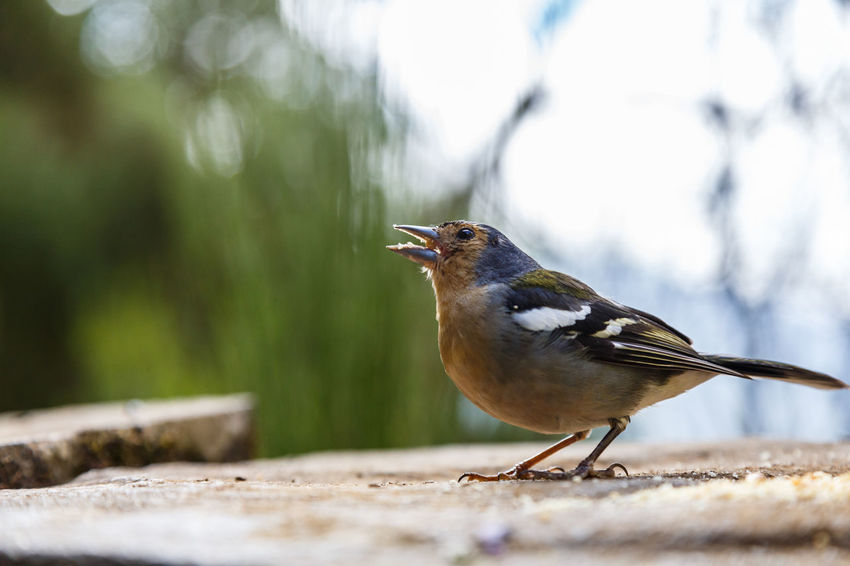 Animal Themes Animal Wildlife Animals In The Wild Bird Chaffinch Close-up Day Focus On Foreground Nature No People One Animal Outdoors Perching