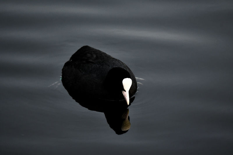 Water Animal Wildlife One Animal Animal Themes Animal Animals In The Wild No People Bird Lake Nature Vertebrate Swimming Day Close-up Waterfront Focus On Foreground Outdoors Swan Black Color Marine