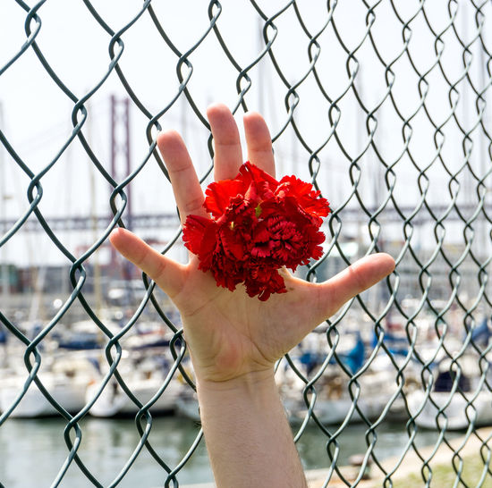 Cropped Hand Holding Red Flower By Chainlink Fence In City