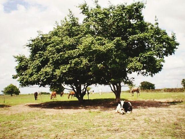 Eu amo a vida no campo,que saudedes jaja eu chegarei aer.