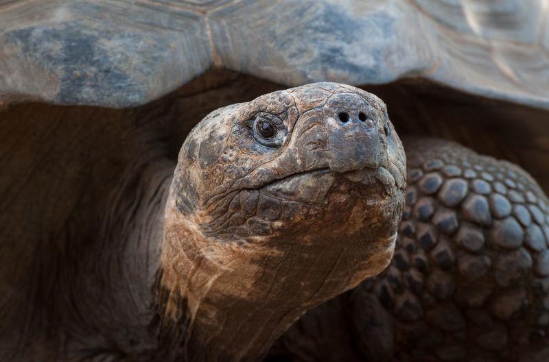 Close-up of galapagos tortoise