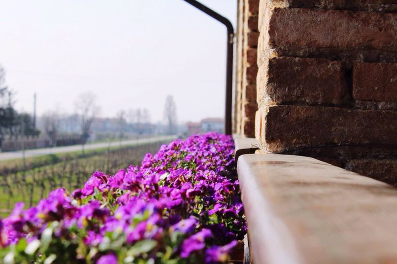 Magenta flowers blooming by wall