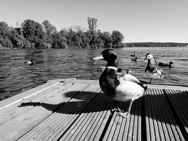 Bird Lake Water Duck It's summer