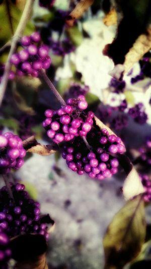 Calicarper Violet Berries Atumn Colors