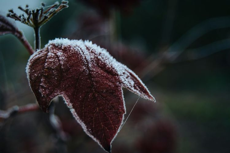 Nature Close-up Beauty In Nature Plant Cold Temperature Freshness Outdoors Branch Snow Atmospheric Nature Belarus Nature From My Point Of View By Ivan Maximov Red And White Red Leaf Nature Lover First Frost Frost Fall Frozen Autumn Colors Fall Beauty Leaf