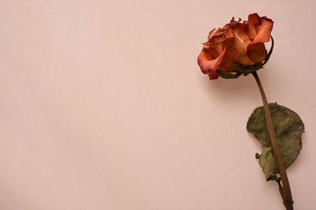 Day 41 - Flower Rose - Flower Fragility Freshness Stem Petal Indoors  Vase Flower Head Beauty In Nature Single Flower Rosé Growth Blossom Plant Botany Bunch Of Flowers Wilted Plant Single Rose Nature D750 365project 365 Nikon Close-up