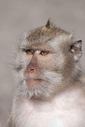 Adult monkey in the baluran national park Animal Body Part Animal Hair Animal Wildlife Animals In The Wild Baboon Close-up Contemplation Focus On Foreground Looking Looking Away Mammal No People One Animal Portrait Primate Vertebrate