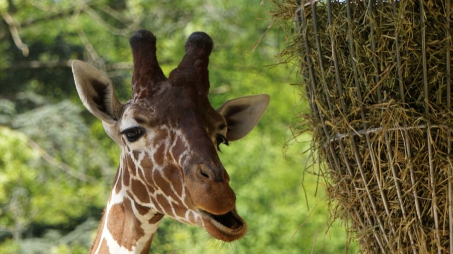 Giraffe Animal Looking At Camera Nature Portrait Beauty In Nature Animal Themes Zoobesuch Check This Out EyeEm Gallery EyeEm Best Shots Funny Faces Funny Moments Taking Photos Animal Body Part Close-up Beliebte Fotos