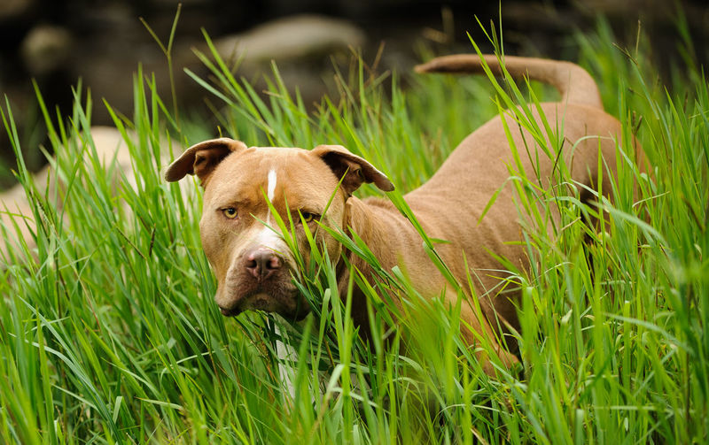 American Pit Bull Terrier dog outdoor portrait Horizontal Nature Pit Bull Animal Themes Brown Day Dog Domestic Animals Grass Green Color Growth Mammal Natural Ears Nature No People One Animal Outdoors Outside Pets Photograph Pit Bull Terrier Pitbull Portrait Terrier Uncropped Ears