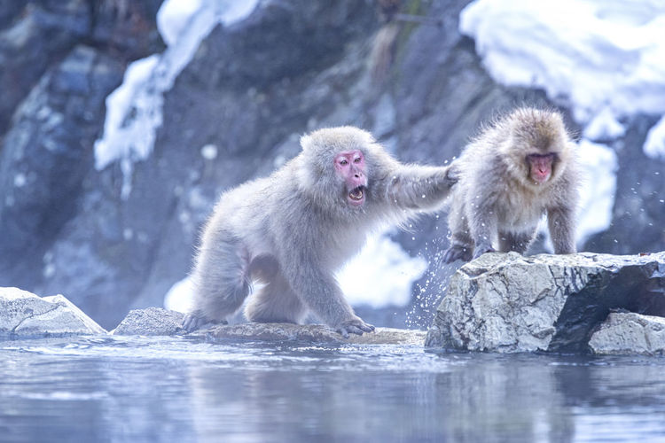 Monkeys in lake during winter