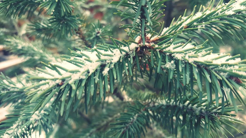 Winter Tree Snow Nature Cold Temperature Pinaceae Pine Tree Christmas Needle - Plant Part Close-up Branch Christmas Tree Coniferous Tree Fir Tree Outdoors Evergreen Tree Ice No People Christmas Decoration Beauty In Nature