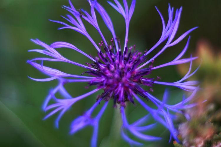 Flower Head Flower Purple Close-up Plant In Bloom Petal Single Flower Botany Blooming Wildflower Flowering Plant Blossom Plant Life