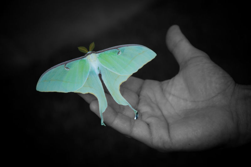Selective Color Luna Moth Moth Butterfly Black Background Nature Human Hand Close-up Animal Themes Animal Wildlife First Eyeem Photo