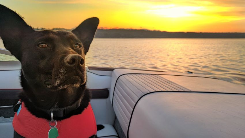 Sunset Sea Water Nature Nautical Vessel Portrait Outdoors Mammal Dogs Dog Vest Boat Dog On A Boat Sky Day Close-up The Week On EyeEm Pet Portraits