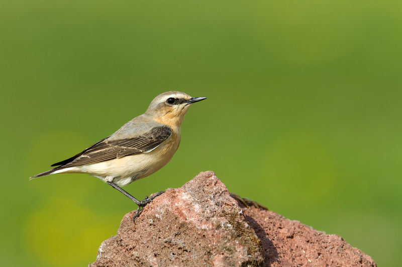 Northern Wheatear Collalba Gris Northern Wheatear Oenanthe Oenanthe Steinschmätzer Traquet Motteux Animal Themes Animal Wildlife Animals In The Wild Beauty In Nature Bird Close-up Day Focus On Foreground Nature No People One Animal Outdoors Perching Wheatear