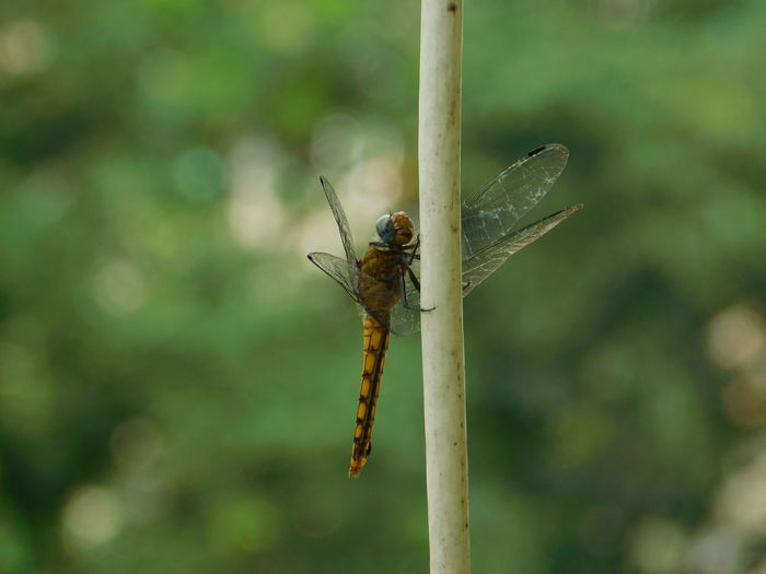 dragonfly Inscets Close Up Macro Photography Green Background Background Bokeh Full Length Insect Close-up Animal Themes Dragonfly Winged